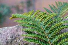 Fern,s and Rocks. (Omygodtom) Tags: nikon nature natural nikkor tamron90mm tamron macro bokeh macrodreams green fern rock outside blur 7dwf urbunnature usgs d7100 dof texture
