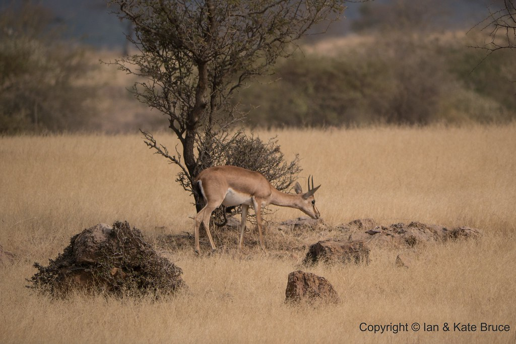 The World's Best Photos of chinkara and nature - Flickr Hive