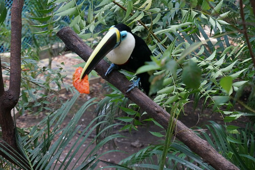 "Toucan with Fruit • <a style=""font-size:0.8em;"" href=""http://www.flickr.com/photos/28558260@N04/24118918497/"" target=""_blank"">View on Flickr</a>"