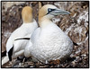 Gannets (CliveDodd) Tags: sulabassana gannets gannet bass rock firth forth