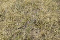 Weeds67 (NRCS Montana) Tags: weeds knapweed invasive centaureamaculosa