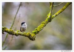 Jolie Mésange nonnette. (C. OTTIE et J-Y KERMORVANT) Tags: nature animaux oiseaux passereaux mésange mésangenonnette alsace france