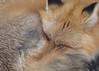 Red Fox...#4 (Guy Lichter Photography - 3.7M views Thank you) Tags: foxred canon 5d3 canada manitoba winnipeg assiniboineparkzoo wildlife animals mammal mammals fox redfox