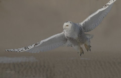 Aerial Locomotion (slsjourneys) Tags: owl snowyowl beach snowyowlflight islandbeachstatepark