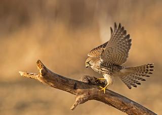 Common Kestrel: Falco tinnunculus (Explored)