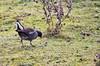 Domaine des oiseaux (Mazères/Ariège) (PierreG_09) Tags: ariège pyrénées pirineos mazères ddo domainedesoiseaux oiseau faune gallinulepouledeau gallinulachloropus commonmoorhen gruiformes rallidés re observatoiredurâledeau 1640 56 400mm iso640