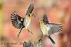 xxD40_7531 (Eyas Awad) Tags: eyasawad nikond4 sigma500f45 bird birds birdwatching wildlife nature fringuello fringillacoelebs peppola fringillamontifringilla