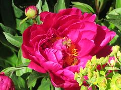 2017-111129 (bubbahop) Tags: 2017 newzealand central otago aurum organic wines cromwell flowers vineyard