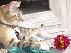 private 032 (lorablong) Tags: westhollywood california cat pet twix