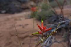 (Sean Munson) Tags: utah hiking nationalpark canyonlandsnationalpark canyonlands theneedlesdistrict needlesdistrict flower macro bokeh