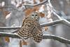 Cloaked... Merry Xmas! (DTT67) Tags: barredowl owl birds nature nationalgeographic wildlife raptors birdofprey snowfall perched canon 1dxmkii 500mmii