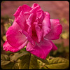 Framed Pink Rose (http://fineartamerica.com/profiles/robert-bales.ht) Tags: arizona foothills forupload haybales people photo places plants projects rose states perennial rosa rosaceae pink prickles thorns ornamental plant pedals vignetting love romance flower passion valentine isolated floral blossom greetingcard nature anniversary rosepetals iphone celebration pinkrose gift wedding beautiful leaf petal birthday marriage romantic robertbales flora red holiday beauty tea fullbloom arizonia christmas square squareformat vignette frame