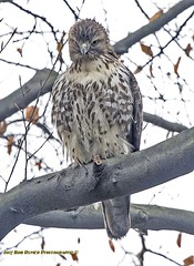 Red-Tailed Hawk. (rumerbob) Tags: redtailedhawk hawk birdofprey raptor bird birdwatching birdwatcher wildlife wildlifewatcher nature naturewatcher canon7dmarkii canonef247028liiusm