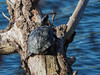 Schildkröte / Turtle (A.Dragonheart) Tags: schildkröte testudines tier animal turtle outdoor natur nature baum tree baumstamm trunk wasser water