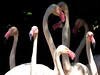 Flamingos (markb120) Tags: pink bird fowl flyer flier pen feather nib plume blade style neck scrag cervix clod beak bill pecker rostrum neb eye optic orb fauna animal