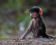 One for the Family Album (leendert3) Tags: leonmolenaar wildlife nature krugernationalpark southafrica chacmababoon mammals ngc npc
