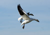 coming in for a landing (kkdemien) Tags: snowgeese skagit
