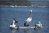 Relaxin' (ImagesByLin) Tags: lakemacquarie swansea birds waterbirds swan pelicans australian water lake