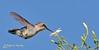 Bee hummingbird - Colibri d'Elena - Zunzuncito - Mellisuga helenae (elgalopino) Tags: bee hummingbird zunzuncito ciénaga zapata matanzas cuba colibrid'elena mellisugahelenae nikkorafs300mmf28gifedvr elgalopino nikon d3s birds oiseaux pajaros aves nature naturaleza wildlife fauna faune libertad freedom libertée bird птица vogel 鳥 pássaro طائر πουλί ציפור uccello