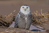 Snowy Owls of New York   2018 - 02 (RGL_Photography) Tags: beachowl birding birds birdsofprey birdwatching buboscandiacus mothernature ny nature newyork nikonafs600mmf4gedvr nikond500 ornithology raptors snowyowl us unitedstates wildlife wildlifephotography owl