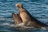 Elephant Seal Fight (fascinationwildlife) Tags: animal mammal wild wildlife winter nature natur california usa america coast elephant sea seal bull male fight water ocean beach san simeon piedras blancas seeelefant