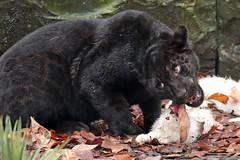 jaguar artis BB2A5467 (j.a.kok) Tags: jaguar jaguarcub jaguarwelp welp cub pantheraonca zwartejaguar blackjaguar artis animal mammal zoogdier dier zuidamerika southamerica predator kat cat