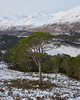 Glen Affric Pine (Donald Beaton) Tags: uk scotland highlands glen affric loch tree woodland trees mountains snow scots pine pinus sylvestris landscape view scene sony a7 fe