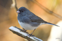 Dark-eyed Junco (jt893x) Tags: 150600mm bird d500 darkeyedjunco jt893x junco juncohyemalis nikon nikond500 sigma sigma150600mmf563dgoshsms sparrow specanimal alittlebeauty coth thesunshinegroup coth5