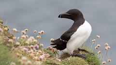Pingouin Torda - Alca torda - Razorbill (TESS4756) Tags: 2017 alcidés charadriiformes ecosse faune oiseaux pingouintorda thérèseb scotland royaumeuni