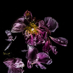 Dark (borealnz) Tags: peony petals death fallen flower paeony red pink black onblack