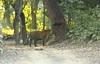 IMG_4331 (jai.mohan90) Tags: tiger royalbengaltiger territorymarking forest india