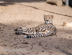 DSC07108 (montusurf) Tags: rest ground lying california sandiegozoo speed fast predator feline cat cheetah zoosofnorthamerica