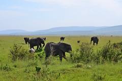 DDR_4237 (Santiago Sanz Romero) Tags: kenya wildlife animales elefante elephant ngc