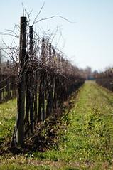 Bi-direzionalità (s81c) Tags: vigneto vineyard campagna countryside erba grass verde green cielo sky verticale vertical filari rows corbolone sanstinodilivenza veneto bokeh sfocato