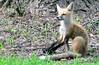 DSC_0746 (RachidH) Tags: fox renard vulpes foxcub renardeau redfox renardroux vulpesvulpes backyard frontyard wildlife sparta newjersey nj rachidh nature