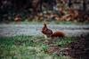 Squirrel (Gruenewiese86) Tags: 7d canon harz wernigerode squirrel nature lustgarten