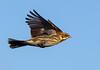 Female Reed Bunting ( Emberiza schoeniclus )- gotcha !! (Clive Brown 72) Tags: birdinflight inflight wales bunting farmland reedbunting