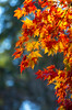 Fall Flames (s.d.sea) Tags: pentax k5iis washington washingtonstate pnw pacificnorthwest fall autumn plants nature outdoors king county seattle eastside issaquah sammamish klahanie
