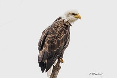 IMG_5744 mature american bald eagle (starc283) Tags: starc283 eagle americanbaldeagle flickr flicker bird birding birds wildlife nature naturesfinest outdoors outdoor