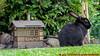 und ausgebüchst der Schlingel (Stefan's Gartenbahn) Tags: hase rabbit garten löwenzahn gänseblümchen tier outdoor haustier stellwerk vollmer gabionen gabione