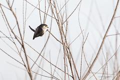 mésange longue queue (Luc Bisensang Photographies) Tags: animaux leteich longuequeue mésanges sauvage oiseaux lucbisensang