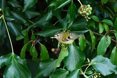Goldcrest (Regulus regulus) (Hoppy1951) Tags: abergavenny monmouthshire gbr wales uk goldcrest regulusregulus hoppy1951 allanhopkins garden