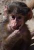 @ Wildlands Adventure Zoo Emmen 25-03-2017 (Maxime de Boer) Tags: mantelbaviaan baboon aap monkey wildlands adventure zoo emmen animals dieren dierentuin dierenpark gods creation schepping creator schepper genesis