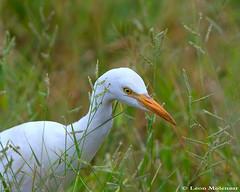 Cattle Egret (leendert3) Tags: leonmolenaar wildlife nature birds cattleegret southafrica ngc npc