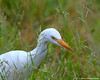 Cattle Egret (leendert3) Tags: leonmolenaar wildlife nature birds cattleegret southafrica ngc npc