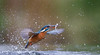 IJsvogel - Kingfisher - Alcedo atthis -1603 (Theo Locher) Tags: alcedoatthis ijsvogel vogels kingfisher martinpecheur eisvogel birds vogel oiseaux netherlands nederland copyrighttheolocher