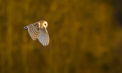 Last light of the day...Barn Owl. (trevorwilson1607) Tags: barnowl lateafternoon bird owl hunting goldenhour avian countryside nikond500 sigma500f4 1000thsec 800iso f45 tripod settingsun