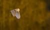 Last light of the day...Barn Owl. (trevorwilson1607) Tags: barnowl lateafternoon bird owl hunting goldenhour avian countryside nikond500 sigma500f4 1000thsec 800iso f45 tripod settingsun
