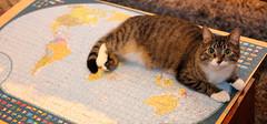 """What do mean, Cats don't rule the world?"" (andymiccone) Tags: cat miisa katze katt kissa tabby feline chat gato grey gray animal beautiful cute pet domestic world globe jigsawpuzzle"