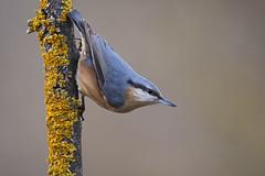 Sitta europaea (nonnogrizzly) Tags: sittaeuropaea picchiomuratore aves uccello fauna animale natura bosco albero